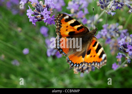 Small Tortoiseshell butterfly (Aglais urticae) on lavender - Stock Photo