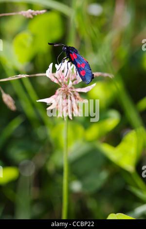Six-spot Burnet moth (Zygaena filipendulae) on clover flower - Stock Photo
