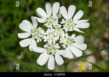 orlaya grandiflora flowers, cres island, croatia - Stock Photo
