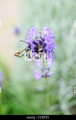 Fiery clearwing (Pyropteron chrysidiformis) on lavender - Stock Photo
