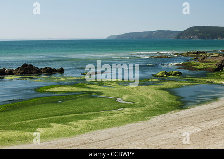 Toxic algae washed up on beach, Plage de Postolonnec, Crozon Peninsula, FinistÅre, Brittany, France - Stock Photo