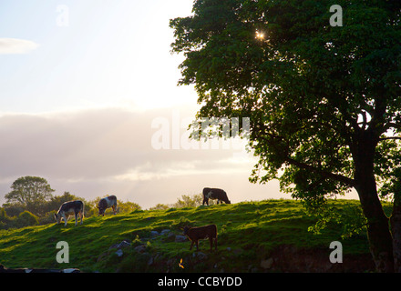 Evening cattle grazing in a field, County Mayo, Ireland. - Stock Photo