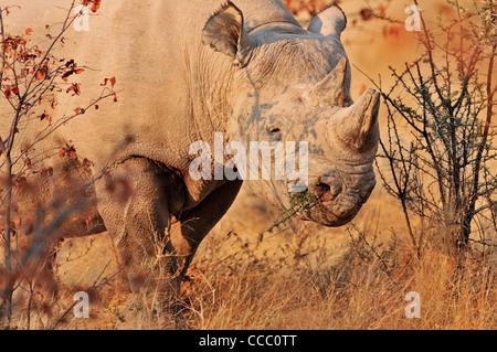 Black Rhinoceros / Hook-lipped Rhinoceros (Diceros bicornis) chewing branch of thorn-bush, Etosha National Park, - Stock Photo