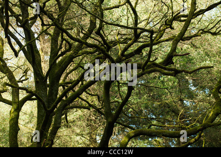 Tree branches covered in moss - Stock Photo