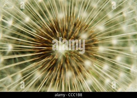 Dandelion seedhead, extreme close-up - Stock Photo