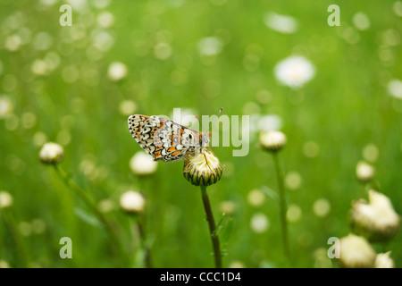 Spotted Fritillary butterfly (Melitaea didyma) - Stock Photo