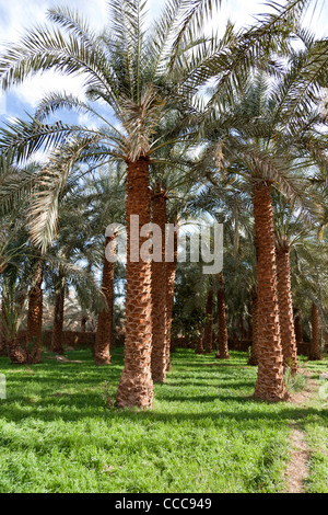 Exotic Date Palms At The Lush Oasis At Millstream