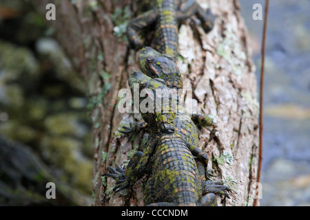 Young American alligators (Alligator mississippiensis) - Stock Photo