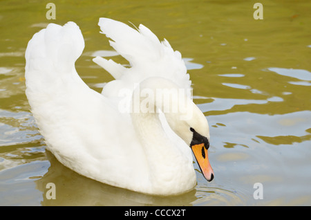 Beautiful white swan floating on a surface of the lake - Stock Photo
