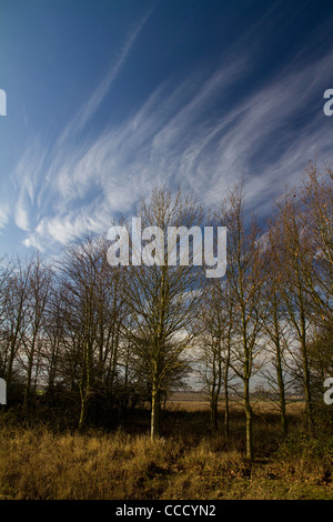 The shape of bare winter birch (betula) trees is reflected in the wispy clouds above on a bright winter's morning - Stock Photo