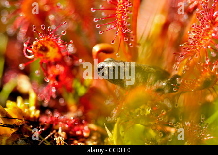 Young common toad (Bufo bufo) walking trough sundew, the Netherlands - Stock Photo