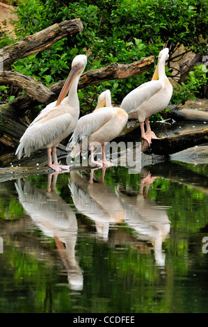 Great White Pelicans / Eastern White Pelican (Pelecanus onocrotalus) preening feathers, native to Africa, Asia and - Stock Photo