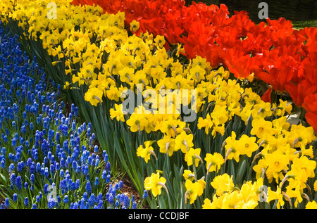 Tulips, daffodils and common grape hyacinths - spring flowers in red, yellow and blue - Stock Photo