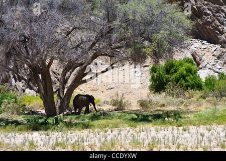 Desert elephant (Loxodonta africana) in the shade of a tree in the dry Hoanib river. Kaokoland, Namibia. - Stock Photo