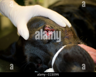 Occular Foreign Body in a Black Labrador Dog - Stock Photo