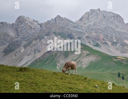 Cow grazing at San Pellegrino Pass, Dolomites, Italy - Stock Photo