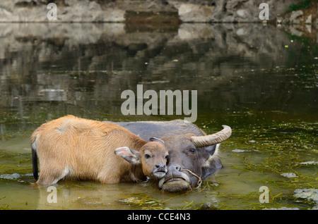 Asian water buffalo calf caressing mother in a pond of the Li river at Fuli near Yangshuo China - Stock Photo