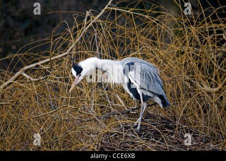 Grey heron, Ardea cinerea, Single bird on nest displaying, London, January 2012 - Stock Photo