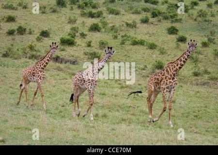 Africa Masai Mara National Reserve-Three Masai giraffes walking on hillside (Giraffa camelopardalis tippelskirchi) - Stock Photo