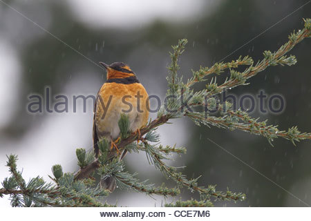 A male varied thrush (Ixoreus naevius) rests on a branch as light rain falls in Snohomish County, Washington. - Stock Photo