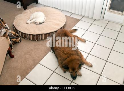 Cat asleep sleeps on dogs bed while dog sleeps on hard floor. top view above MR  © Myrleen Pearson - Stock Photo