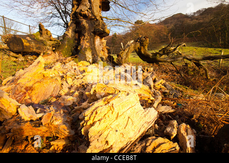 A rotten Beech tree stump, blown over in high winds. - Stock Photo