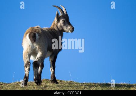 Alpine ibex, Steinbock, capra ibex, Niederhorn, Schweiz, Switzerland, - Stock Photo