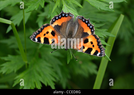 A brightly colored butterfly called a Small Tortoiseshell (aglais urticae) in spring - Stock Photo