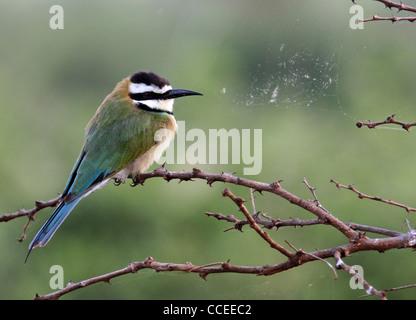 White Throated Beeeater - Stock Photo