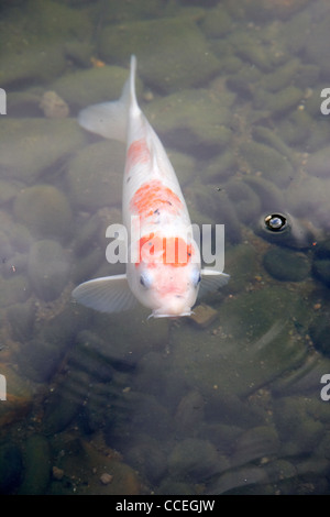 one white orange koi carp in artificial pond in hong kong park central hksar china asia - Stock Photo