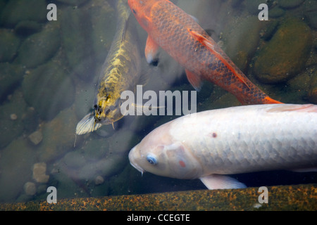 Artificial lake with fish in the garden and rice terraces for Artificial koi fish for ponds