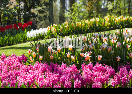 Garden with pink hyacinths and colorful tulips on a sunny day in spring - Stock Photo