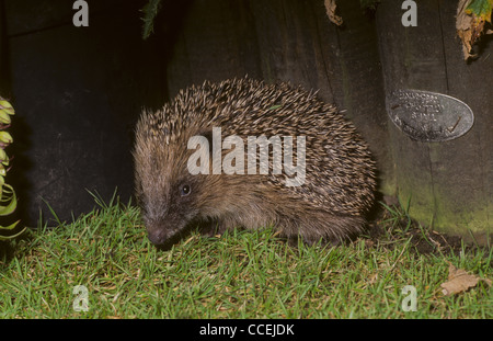 European Hedgehog Erinaceus europaeus in back garden at night. UK - Stock Photo