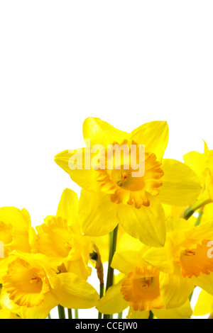 Yellow narcissuses isolated over the white background - Stock Photo