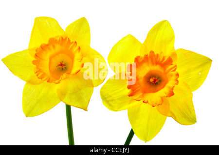 Two yellow narcissus isolated over the white background - Stock Photo