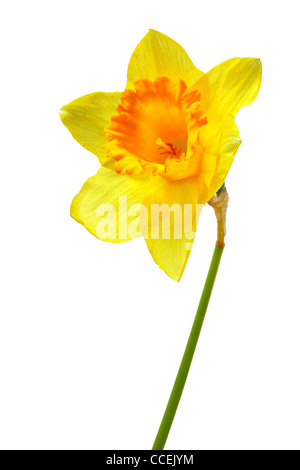Yellow narcissus isolated over the white background  - Stock Photo