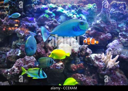 Tropical fish amongst sea anemones in aquarium, Surrey, England, United Kingdom - Stock Photo