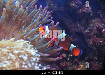 Ocellaris Clownfish amongst sea anemones in aquarium, Surrey, England, United Kingdom - Stock Photo