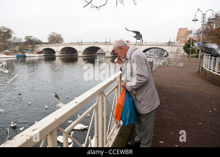 Man feeding seagulls and swans on the River Thames at Kingston. - Stock Photo