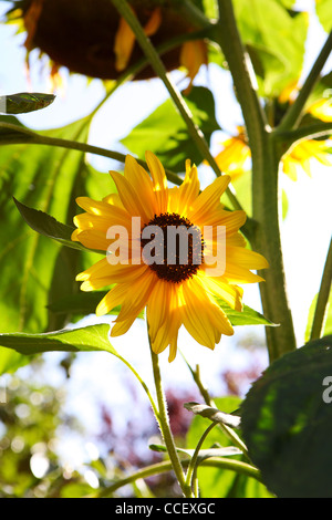 A sunflower - Stock Photo