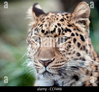 Female Amur leopard (head shot) - Stock Photo