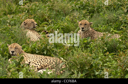 Three male Cheetahs hiding in bush
