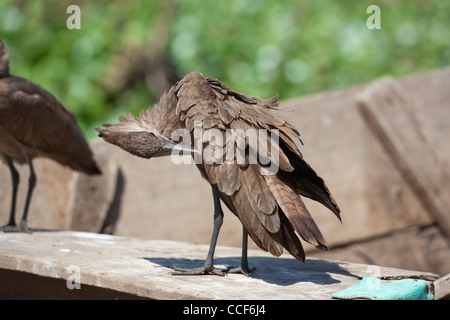Hamerkop (Scopus umbretta). Perching and preening on a fisherman's boat. Lake Ziway. Ethiopia. - Stock Photo