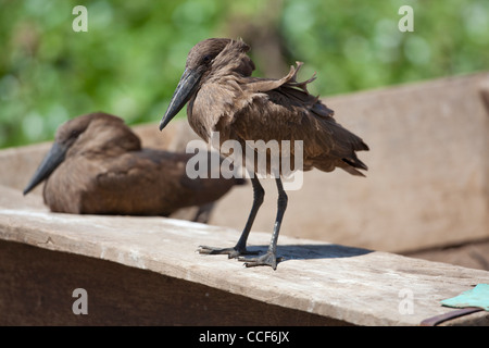 Hamerkop (Scopus umbretta). Perching on a fisherman's boat. Lake Ziway. Ethiopia. - Stock Photo