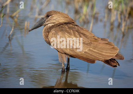 Hamerkop (Scopus umbretta). Standing and resting in shallow water. Lake Ziway. Ethiopia. - Stock Photo