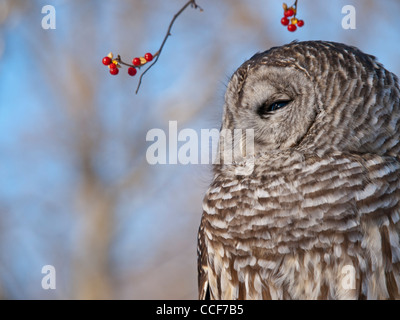 Barred Owl perched on a dead tree limb with bittersweet berries hanging over head. - Stock Photo