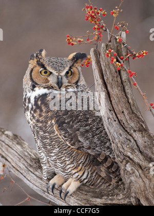 Close up of beautiful Great Horned Owl sitting on a dead tree with a bittersweet vine covered with red berries on - Stock Photo