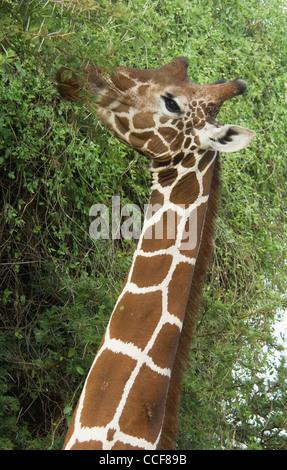 Africa Kenya Samburu National Reserve-Reticulated giraffe browsing from tree-close up (Giraffa camelopardalis reticulata - Stock Photo