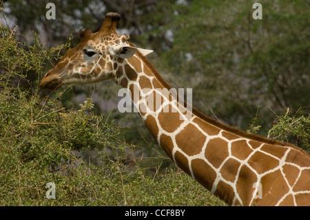 Africa Kenya Samburu National Reserve-Reticulated giraffe browsing (Giraffa camelopardalis reticulata - Stock Photo