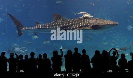 Dec. 9, 2010 - Okinawa, Japan - Large whale shark and other fish swim in the tank with the volume capacity of 7,500 - Stock Photo